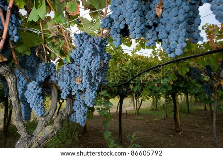 Lambrusco ripened grapes hanging in a vineyard in Italy