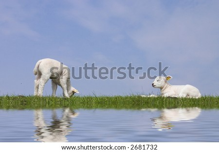 lambs - stock photo