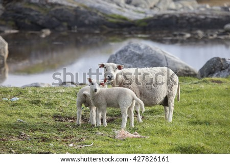 Lambs and sheep grazing in springtime.Northern Norway.Tromso - stock photo