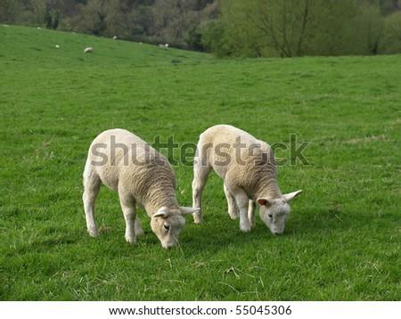 Lambs Grazing - stock photo