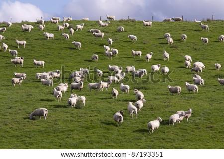 Lambs grazing in fresh pastures - stock photo