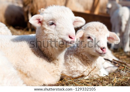 lambs resting and sleeping with the herd at a rural farm - stock photo