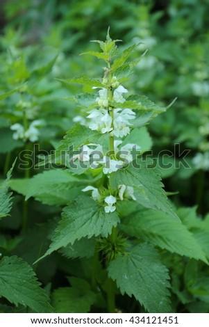 Lamium album, commonly called white nettle or white dead-nettle - stock photo