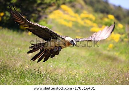 Lammergeier or Bearded Vulture (Gypaetus barbatus) in flight - stock photo