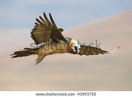 Lammergeyer or Bearded Vulture (Gypaetus barbatus) in flight looking for prey in South Africa - stock photo