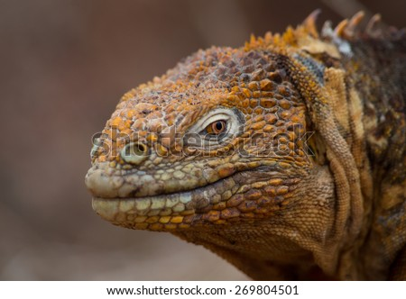 Land iguana - stock photo