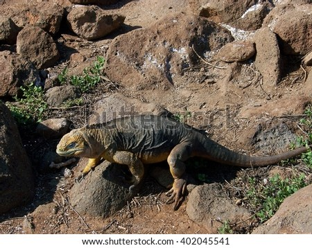 Land Iguana at North Seymour Island, Galapagos Islands