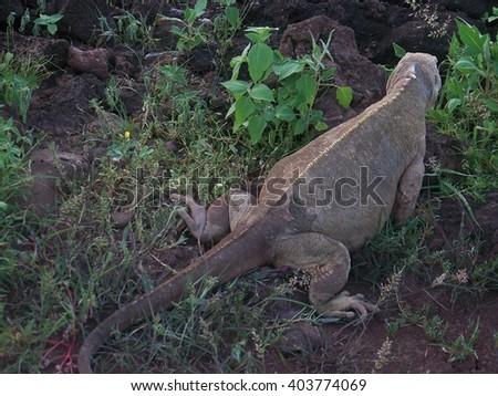 Land Iguana at Santa Fe Island, Galapagos Islands - stock photo