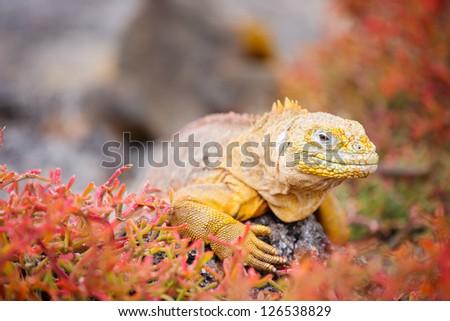 Land iguana endemic to the Galapagos islands, Ecuador - stock photo