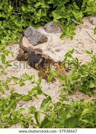 Land iguana laying in the sand in the Galapagos Islands - stock photo