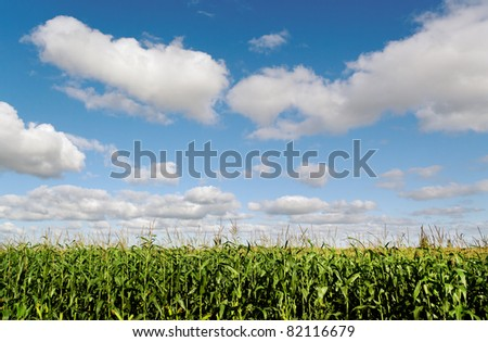 Land of growing corn and clouds on a sky. - stock photo