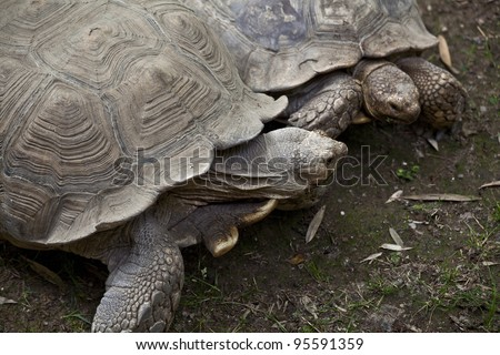 Land turtle in search of food - stock photo