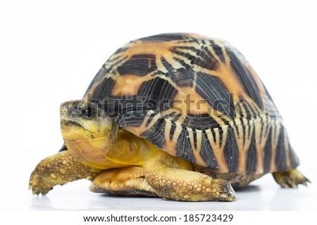 land turtle isolated on white - stock photo
