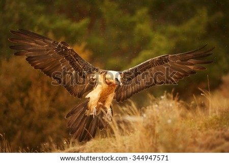 Landing adult bearded vulture in full orange color plumage with outstretched wings on edge of the slope with a distant green background in the Spanish Pyrenees.  - stock photo