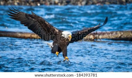 Landing Bald Eagle That Fish is Mine.  - stock photo