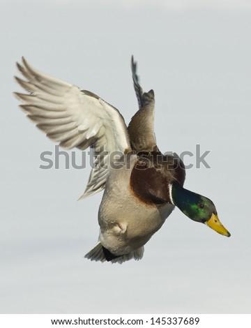 Landing Mallard Duck - stock photo