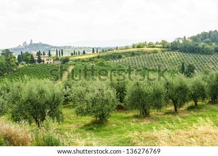 Landscape at summer near San Gimignano (Siena, Tuscany, Italy). Farm with vineyards and olive trees - stock photo