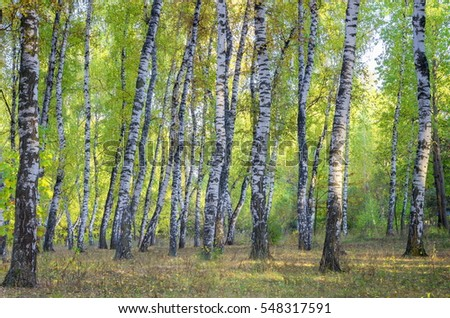 Landscape birch grove. Early autumn. Green leaves and dry grass.