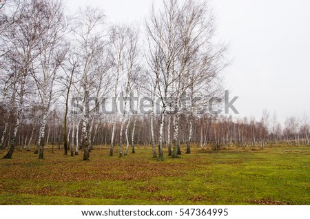Landscape birch grove in late autumn