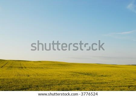 Landscape canola field - stock photo