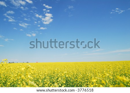 Landscape, canola field with focus on old grain elevator far away. Blue sky and white fluffy clouds. - stock photo
