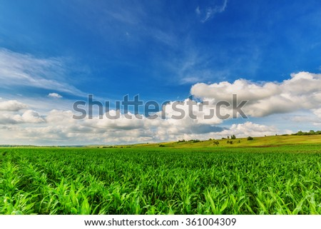 Landscape (corn field and blue sky in summer day) - stock photo
