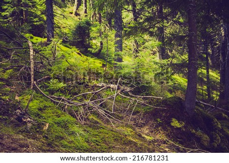Landscape dense mountain forest and trees with moss. Filtered image:cross processed vintage effect.
