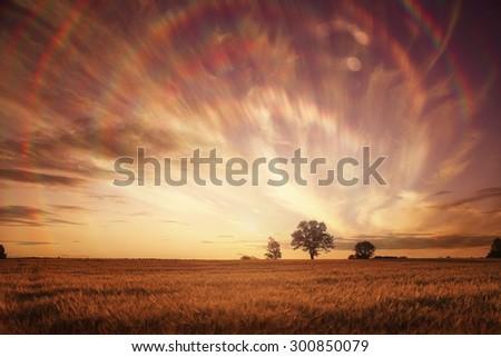 landscape fantastic sunset on the wheat field sunbeams glare - stock photo