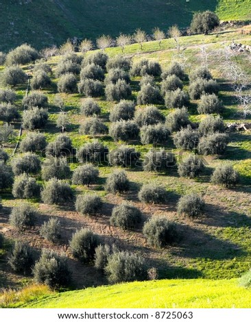 landscape for italian olives trees - stock photo