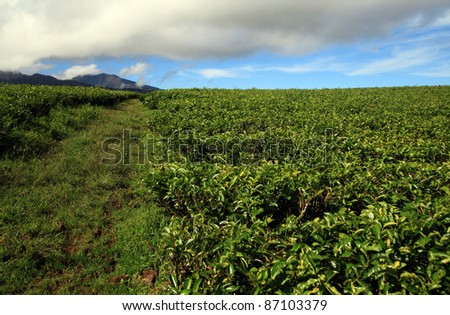 Landscape green tea farming with mountains at background