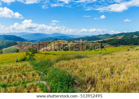 landscape-Harvesting the rice of Karen on the Hill. Ban Pa Pong Piang district in Mae jam Chiang Mai Province Thailand.
