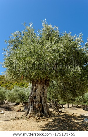 Landscape in an olive grove with giant oil tree