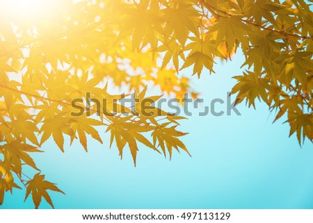 Landscape in autumn season with sun light. A tree branch and flower with autumn leaves of a maple on a blurred background. - Vintage tone.