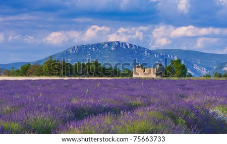 Landscape in Provence, France, with lavender field and an abandoned old barn during a windy afternoon - stock photo