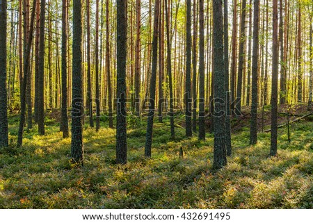 landscape in sunny coniferous forest in early autumn