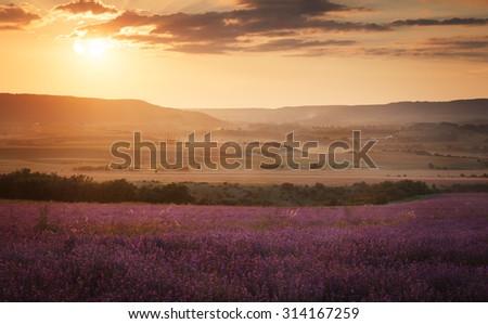 Landscape. Lavender field at sunset - stock photo