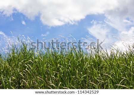 landscape meadow, white reeds field. Blue sky