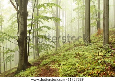 Landscape of beech forest on a foggy day at the beginning of autumn. - stock photo