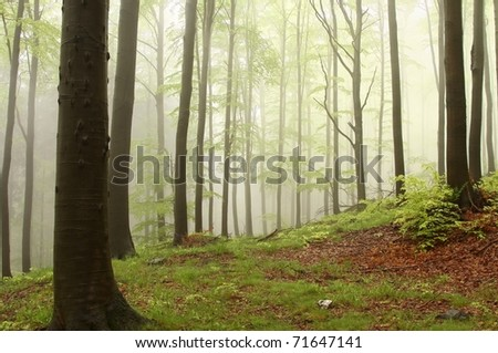 Landscape of beech forest on a foggy spring day. - stock photo