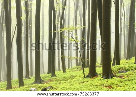 Landscape of beech forest on a foggy spring day.