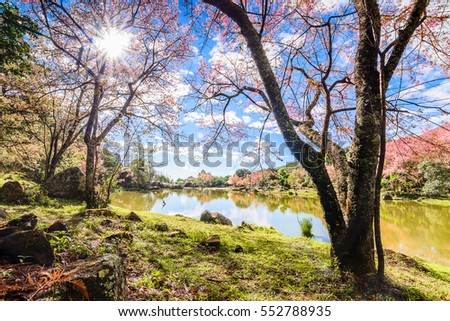 Landscape of Cherry blossom flower or Sakura flower at lake in Chiang Mai, Thailand.Wild Himalayan Cherry.