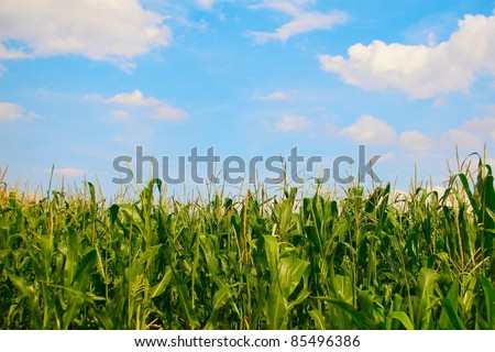 Landscape of corn field on the background beautiful blue sky - stock photo
