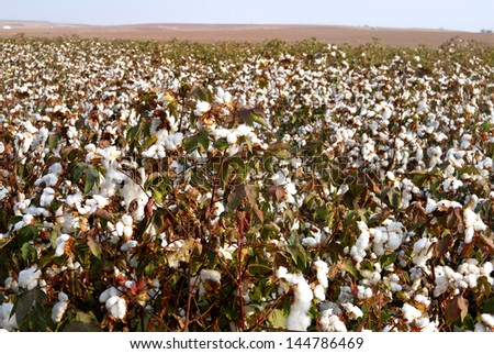Landscape of cotton fields in south israel.
