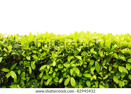 Landscape of Ficus altissima Blume or council tree isolated on white background - stock photo