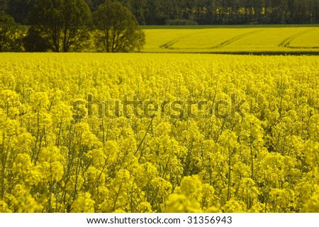 Landscape of Lusatia in Eastern Germany with rapeseed fields
