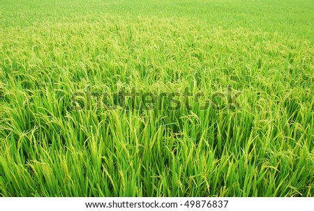 Landscape of paddy rice field Photo