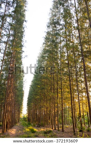 Landscape of pine forest in sunset sky. - stock photo