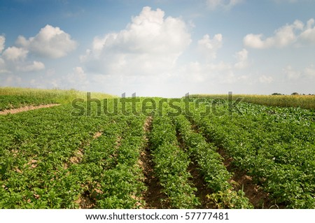 Landscape of potato plantation. - stock photo