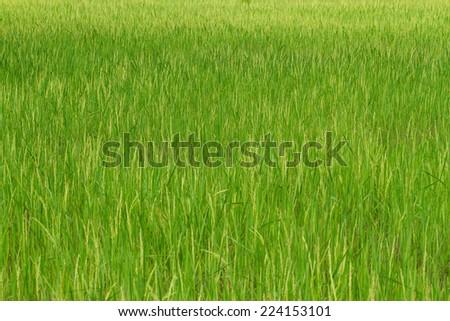 Landscape of rice field  - stock photo