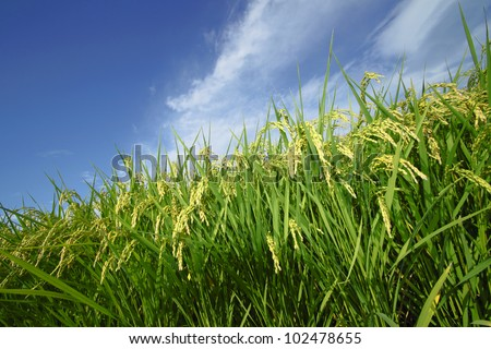 Landscape of rice field with blue sky in  Morioka,  Iwate,  Touhoku, Japan